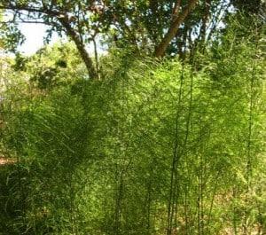 African broom fern
