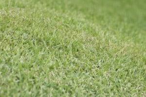 Mowed Bermuda Grass or Cynodon dactylon; unsharpened file